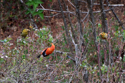 I'iwi (Drepanis coccinea) - adult and two juveniles