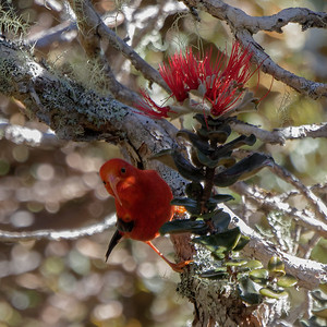 I'iwi (Drepanis coccinea) peeks out from the shadows of an 'Ohi'a lehua ( Metrosideros polymorpha)