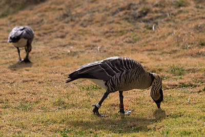 """Grazing"" (Branta sandvicensis)"