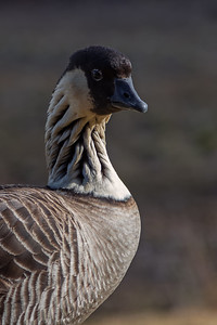 """Nene Portrait"" ((Branta sandvicensis)"