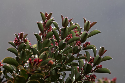 """`Ili`ahi Rain"" (Hawaiian Sandalwood - Haleakala National Park)"