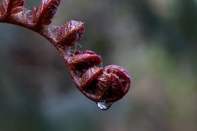 'Ama'u fern (Sadleria cyatheoides)