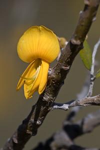 """"""" Māmane"""" (Sophora chrysophylla)"""