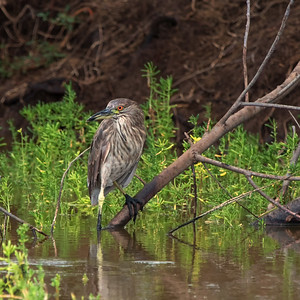"""Morning Vigil"" (Nycticorax nycticorax)"