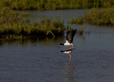"""Balancing Act"" (Ae'o -- Hawaiian Stilt -- Himantopus mexicanus knudseni, courtship behavior)"