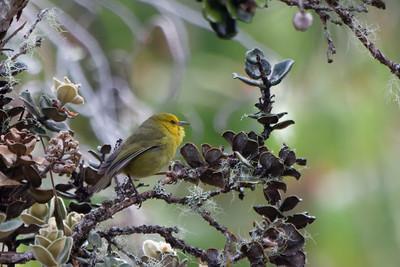 Maui 'Alauahio (Paroreomyza montana)