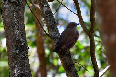 ʻōmaʻo (Myadestes obscurus) Puʻu ʻŌʻō trail, Hawaii