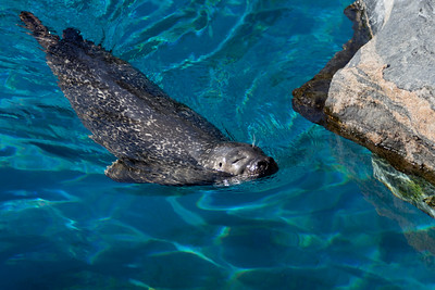 Harbor seal (Mystic Aquarium)