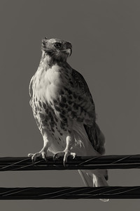 Red-tailed hawk - monochrome (Buteo jamaicensis)