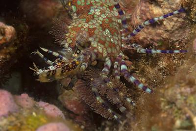 """Mosaic"" (Marbled shrimp - Saron marmoratus)"