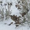 12/16:  Happened to look out the bedroom window this day and there was a large flock of Common Redpolls.  They were voraciously eating the tiny seeds of the native sagebrush.
