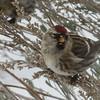 12/16:  Smart looking little bird with a bright crimson cap.