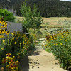 7/12:  Lots of Mexican Hat coneflowers and Blanketflowers (Gaillardia) liine the steps down to the Wennstrom Firepit.
