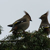 3/29:  A real reward coming up the Ditch Trail.  What at first looked like a flock of dark-colored birds against the light turned out to be one of our local flocks of Cedar Waxwings.  Somehow, my little Canon pointandshoot with its 30X optical zoom, captured this pair with their bright color accents in good focus way up in the tree top.