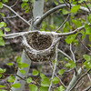 4/28:  In this woodland along Conlin Road, I noticed this suspended nest.  My resident Birdman knows not who built it but my research keeps pointing to vireos.