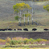 9/21:  A bison herd grazing above the Lamar River across the valley.