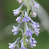 "7/01:  A Tall Larkspur often sports a much more delicate coloring than its ""Low Larkspur"" relative which is almost always dressed in a deep purple."