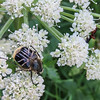 7/12:  Along Alvin's ditch that runs through our land there is a nice cluster of Cow Parsnip plants.  I noticed this Beelike Flower Scarab beetle today - a new insect for me :)