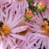 9/29:  Bees are everywhere on these pink asters at this time of year and the garden is alive with their buzzing sounds.