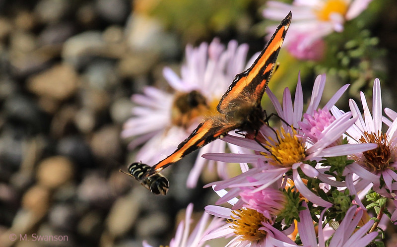 9/29:  One more of the Milbert's Tortoiseshell with one of those little bombers, what I think is a flower hoverfly,  zooming in under a wing.