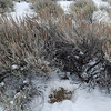 12/19:  On the way home today, the dogs and I cut across the bench to our road and flushed a covey of grouse from this area.  Along the route we took, by chance I happened upon this.  This is grouse droppings and it appears that they may have huddled down under this large sagebrush for cover from the cold.  Another small treasure - a reward for just being out and about this same area day after day.