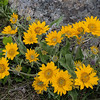 5/16:  The flowers are out in full glory.  This is Arrowleaf Balsamroot, a member of the Sunflower family.  It has a large and deep taproot whose thicker part is covered with bark!  The name refers to a resin in the root.  Nearly all parts of the plant were used as food by Native Americans.