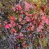 8/19:  And more autumn color appearing along the Ditch Trail!