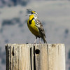 4/21:  Along Cemetery Road a meadowlark sings at the top of its lungs from a fencepost.