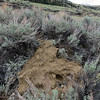 4/28:  I spotted this new HUUGE pile of fresh dirt in sagebrush just down from our driveway today.  I doubt it looks as humongous as it actually is, unfortunately, but trust me it's the largest pile I have run into yet!