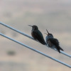 8/22:  A slightly fuzzy but cute sequence of a mother Calliope hummer with her hungry pestering chick, perched on the birdfeeder pulley line out front.  Thus the fuzzy shot through the window :)