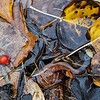 10/29:  But all you have to do is look a little closer and color still abounds!  I discovered this still life of dead leaves and a rosehip in a puddle left in Alvin's Ditch!