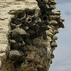 9/21:  On the other side of Soda Butte Cone, Cliff Swallows build condominia of nests out of mud pellets and line them with grass and feathers.