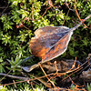 11/10:  On what turns out to be our last walk up Emigrant Gulch this year, a gift from Mother Nature......a frost-etched dried leaf in a bed of mosses.