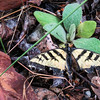 7/10:  A tattered Western Tiger Swallowtail butterfly spotted along the side of Conlin Road.