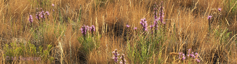 8/08:  A grassy meadow lit up by late light and the purple flowerheads of Liatris punctata, aka Gayfeathers, one of the later summer flowers that brighten the landscape.
