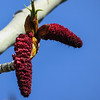 """4/21:  Along Chico Cemetery Road on a dogwalk I spot these gorgeous red catkins emerging on a cottonwood tree.  I thought cottonwoods had small greenish catkins.  As it turns out, cottonwoods and other trees of the Populus genus are dioecious, meaning individual trees are either males or females.  These red catkins are on the male trees, the tiny """"flowers"""" have no petals but are all stamens which, when they mature, release pollen which is dispersed by the wind."""