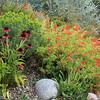 8/26:  Another echinacea in front of rabbitbrush coming into bloom.  But the sweep of orange trumpetlike flowers to the right is Zauschneria garrettii, aka Orange Carpet Hummingbird Trumpet.  It's a western native and the insects and hummers adore it!