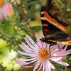 9/29:  A Milbert's Tortoiseshell butterfly on pink asters in the garden.