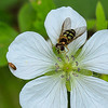 7/01:  A White Geranium with insects.  The larger one is a member of the Hover or Flower Flies family that mimic vespids or bees and are also known as Syrphid Flies.  The best genus match I could find seems to occur only in Eurasia and Africa  so any help on the ID would be appreciated!