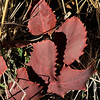 11/13:  And a couple of days later, with mellow weather still holding strong, Peter and I made one last lap around the Beaver Ponds Trail in the Park.  Here, Oregon Grape (Mahonia) leaves look like russet leather.