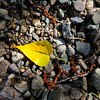 8/19:  A FIRST of the year - the first pure yellow cottonwood leaf, harbinger of autumn not far off.