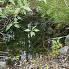 """8/06:  Weeding out the """"back door"""" of our tailing piles and checked out this seasonal small pond.  It only has water from mid-summer on - never in the rainiest seasons or when the creek is in flood.  A great mystery but such a sweet spot."""