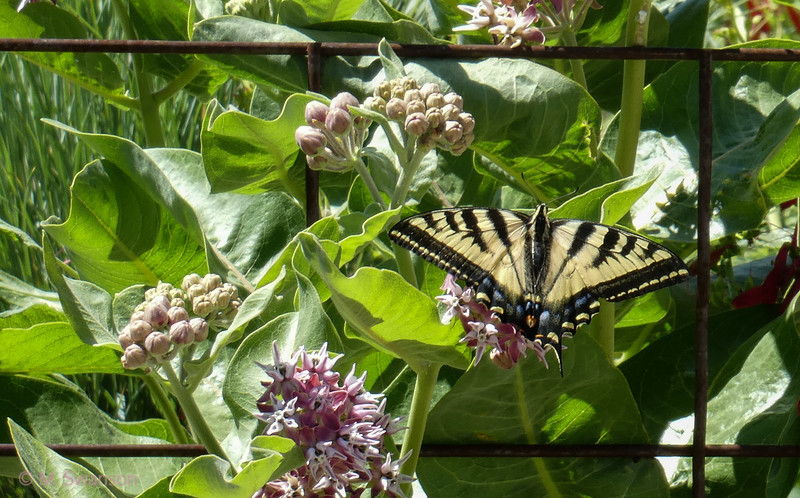 6/30:  The Western Tiger Swallowtails love nectaring on the native milkweed.  We are hoping to lure some Monarchs too.