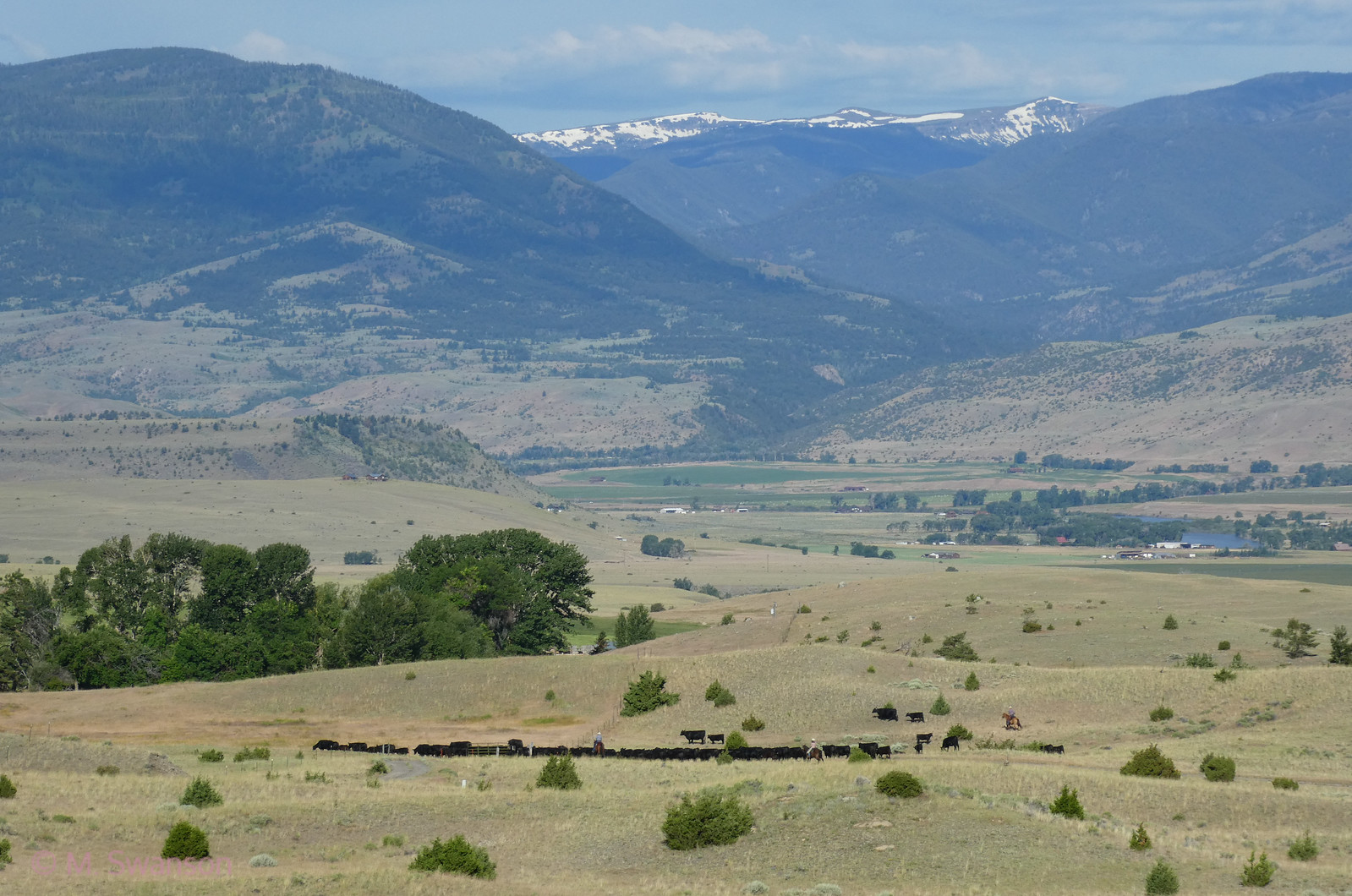6/28:  Tis the time for cattle to move to those no-longer-so-pristine high meadows.  They will graze on USFS land until sometime in the fall.