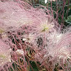 6/15:  And here is a more vibrant bunch of those Prairie Smoke seedheads in the same garden area!