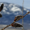 3/17:  Catkins emerge on the aspens in front of The Great Wall.