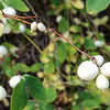 8/17:  Fall is approaching.  Here is a splendid bunch of pure white Snowberries - but beware, these berries are poisonous!
