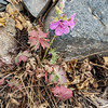 9/18:  One solitary Sticky Geranium plant still in bloom.  Amazing!
