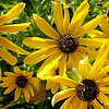 7/25:  The Rudbeckia or Black-eyed Susans are blooming their heads off this year.