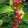 8/19:  More signs of fall's arrival - chokecherries!  They will disappear fast, eaten by an assortment of wildlife from birds to bears.